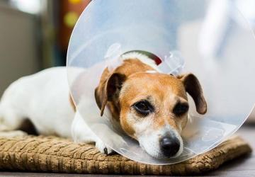 Photo of a dog whose owner could afford to pay for their surgery because they had an emergency fund.